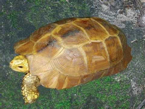Rùa vàng: 50 triệu đồng/con Rùa vàng là loại cực quý hiếm, có tuổi thọ cao. Nhiều người cho rằng rùa vàng sống lâu năm nên hấp thụ nhiều linh khí của đất trời, thịt chúng rất bổ dưỡng, nhất là với những người ốm yếu muốn tăng cường sinh lực. Đặc biệt, huyết rùa được cho là thần dược, có thể chữa khỏi nhiều bệnh về tim mạch. Bởi vậy, giá một con rùa vàng lên đến 50 triệu đồng dù đây là loài quý hiếm, cần bảo vệ. Loại cao được chế biến từ rùa vàng cũng không hề rẻ, khoảng 20 triệu đồng một lạng - Ảnh: Hà Phương.