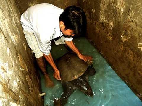 Con cua đinh nặng 23,5 kg do con trai của ông Quốc giăng câu bắt được - Ảnh: Huy Phương.