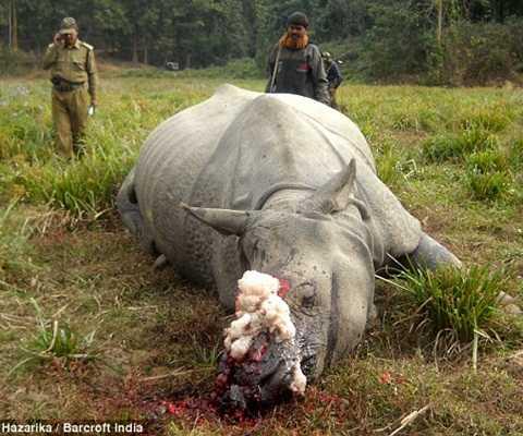 Hình ảnh cận cảnh chú tê giác bị giết lấy sừng