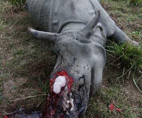 Chú tê giác nằm trên trong vũng máu khi được tìm thấy