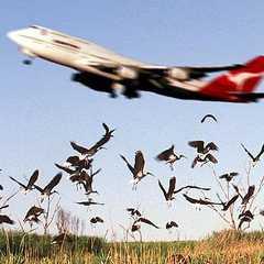 Các vụ chim va vào tàu bay các hãng hàng không vẫn liên tiếp xảy ra gây thiệt hại cho hãng và ảnh hưởng nhiều đến việc đi lại của người dân.