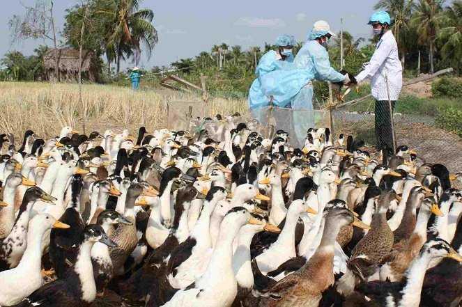 Cục Thú y nhận định năm 2015 các ổ dịch cúm gia cầm sẽ tiếp tục xuất hiện xung quanh khu vực nuôi nhiều thủy cầm. Ảnh tư liệu