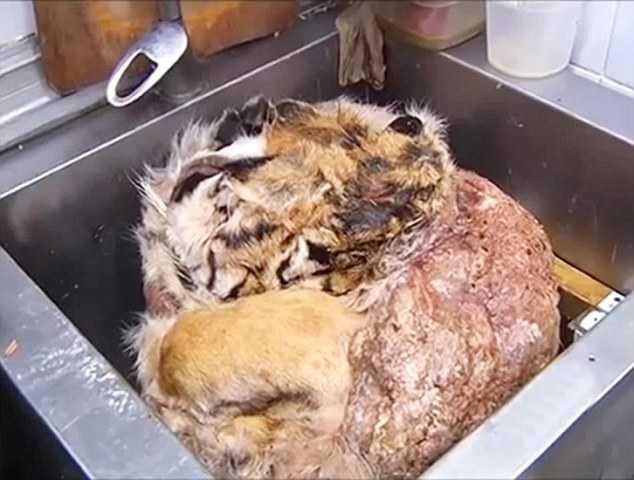 Đầu và da của hổ, báo dùng chế              biến thành những món ăn đắt tiền
