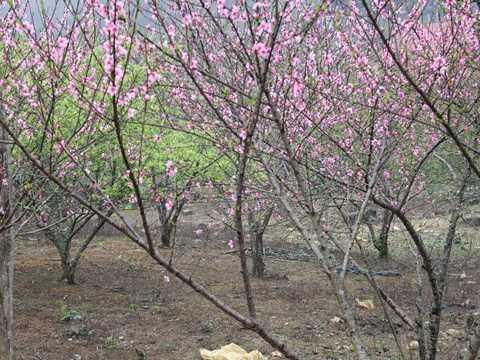 Săn đào rừng biếu Tết sếp - Ảnh: Châu Anh