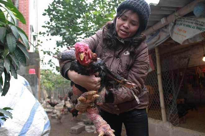 Con gà Đông Tảo giống thuần chủng. Ảnh: Ngọc Lan.
