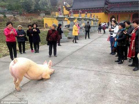 Hình ảnh lợn quỳ gối trước cổng chùa đang là chủ đề bàn tán sôi nổi trên mạng xã hội Trung Quốc - Ảnh: Sina