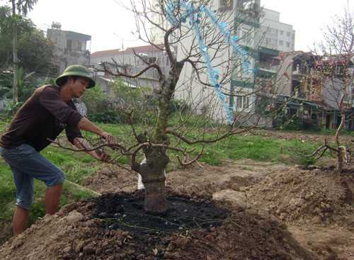 Chi phí chăm sóc đào hoàn toàn phụ thuộc giá thị trường, do đó các chủ vườn đều rất chu đáo tạo thế mới để năm tới, cây sẽ được giá. Ảnh: T.T