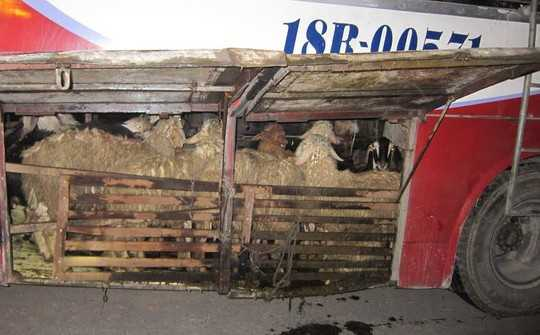 Chiếc xe khách cùng số gia súc được nhà xe làm chuồng để vận chuyển ra Hà Nội tiêu thụ