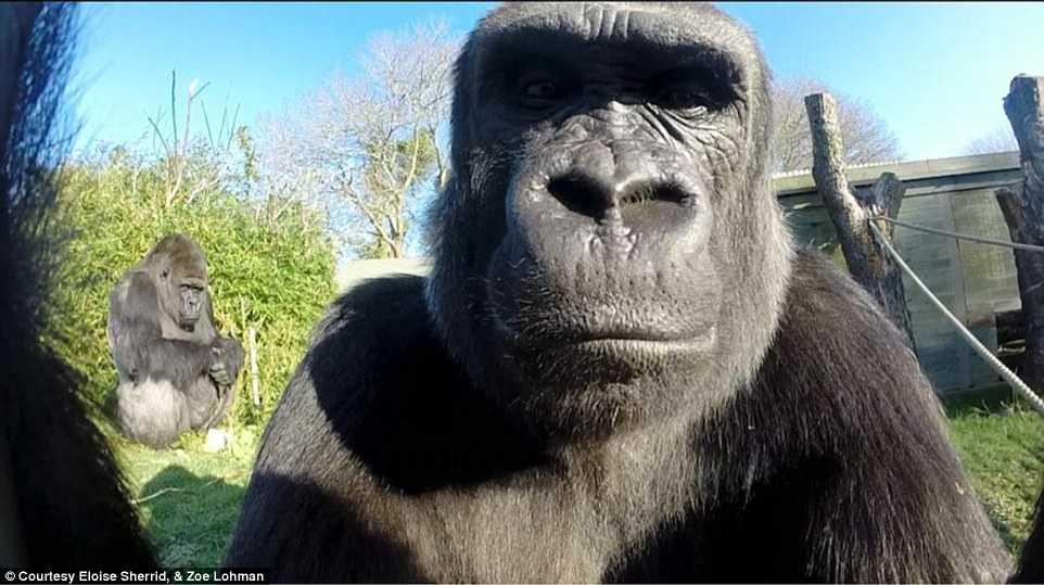 Trong khi con đười ươi cái thích thú với chiếc máy ảnh, đười ươi đực hằm hè              'tự sướng'.