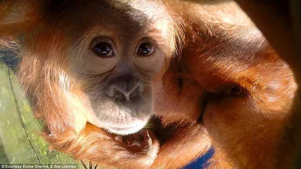 Kea, chú đười ươi con kỳ diệu được sinh ra bởi chú đười ươi mẹ