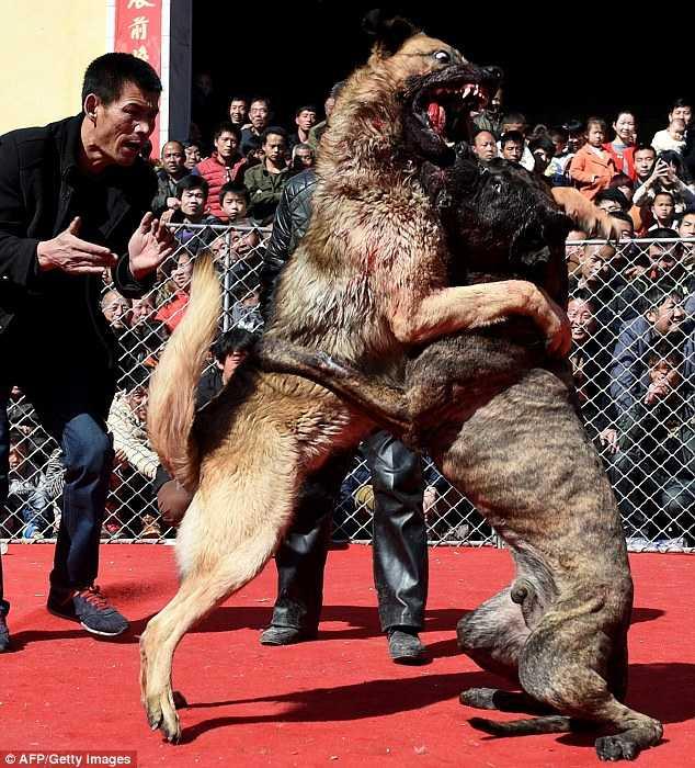 Cảnh chọi chó man rợ ở miền bắc Trung Quốc