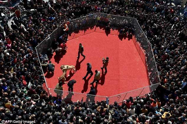 Hàng trăm người tập trung quang chiếc lồng săt, nơi diễn ra chọi chó