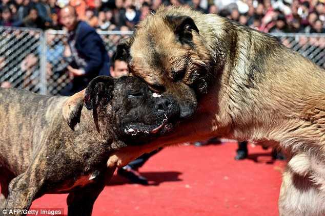 Trong khi bị cấm ở các nước khác, Hội chọi chó lại thu hút khách du lịch đến với vùng núi phía bắc Trung Quốc