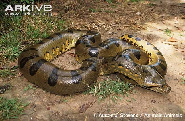 Loài rắn này có thể săn mồi ở trên cạn, dưới nước và cả trong các đầm lầy. Các nghiên cứu cho rằng từ