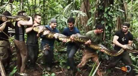 Loài rắn này có thể dài tới hơn 5m và cần tới 7 người lớn để mang nó