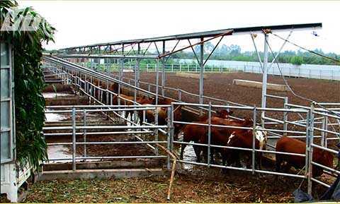 Trại nuôi bò gây ô nhiễm môi trường nghiêm trọng