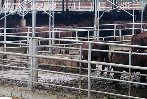 Một trang trại nuôi đến 2000 con bò nhưng lại không có biện pháp bảo vệ môi trường, để mùi hôi thối nồng nặc bay vào khu dân cư - Ảnh MK