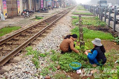Nhiều người còn tận dụng trồng rau ngay trong hành lang an toàn đường sắt