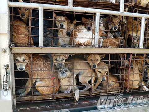 Các chú chó bị nhồi nhét trong những chiếc lồng chật hẹp (Ảnh: Animal Asia)