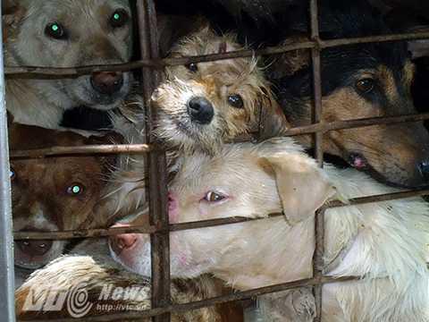 Rất nhiều chú chó trong số đó bị thương do bị đối xử thô bạo (Ảnh: Animal Asia)