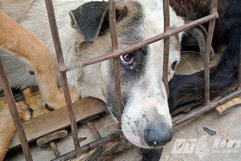 Có không ít trong số những cá thể chó này đã chết trên đường vận chuyển (Ảnh: Animal Asia)