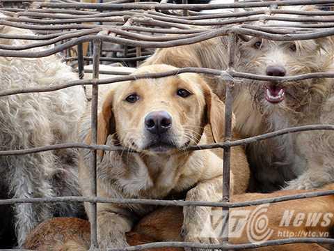 Phần lớn những cá thể chó bị buôn lậu có nguồn gốc là chó nuôi trong gia đình