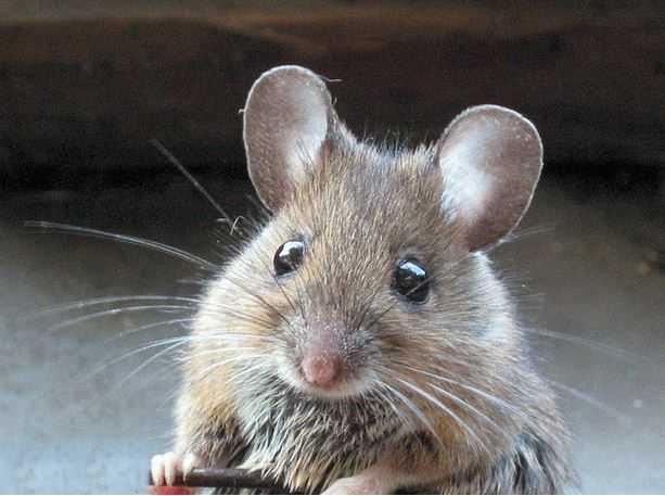 Nếu trong nhà có chuột, nó sẽ cắn những vật dụng, kêu chí chóe rất khó chịu.