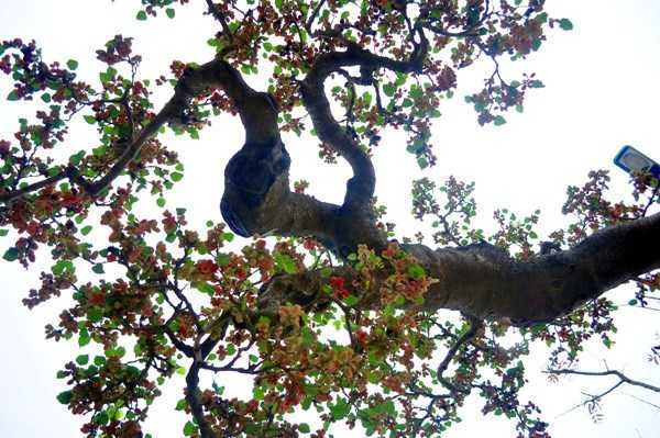 Nguồn gốc của cây dâu là từ nghệ nhân tên Huỳnh ở bên đất Mễ Sở (Văn Giang, Hưng Yên). Do tình cờ gặp và thích nên ông Hùng mua về sở hữu. Hiện đã có người trả giá 100 triệu đồng cho cây dâu tằm độc nhất vô nhị này.