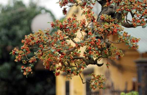 Chăm sóc cây cũng không cần phải quá cầu kỳ, chỉ cần tưới nước và một chút phân bón là cây có thể phát triển bình thường và không có bệnh tật