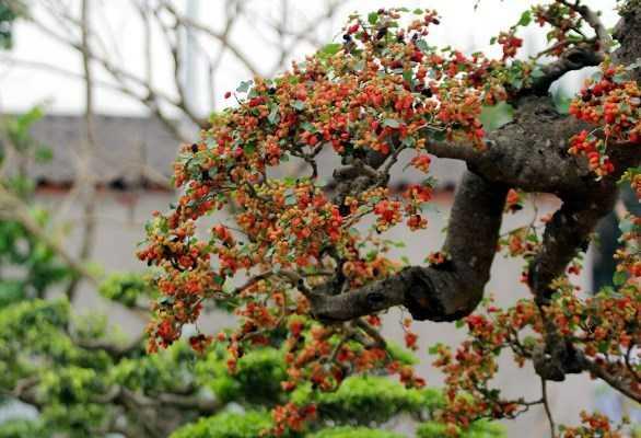 Mỗi năm, cây ra quả 2 đợt, mỗi đợt kéo dài 2 tháng. Quả của cây sai trĩu từ gốc lên đến ngọn