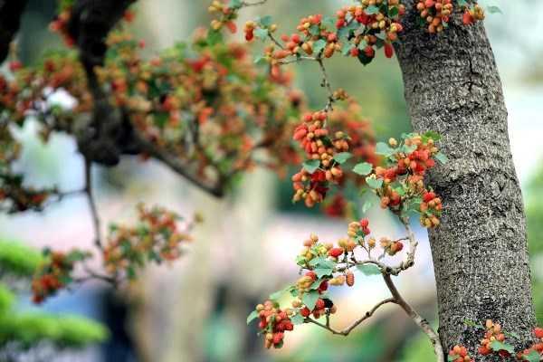 Ông Hùng cho biết, hiện tại quả của cây mới được hơn 1 tháng. Vài hôm nữa, khi có nắng, quả đồng loạt chín đều đẹp vô cùng.