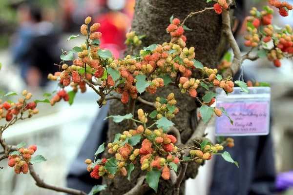 Để dành dinh dưỡng nuôi cây và quả, ông Hùng phải vặt bớt lá đi và chỉ để lại một vài lá nhỏ tô điểm cho những chùm quả.