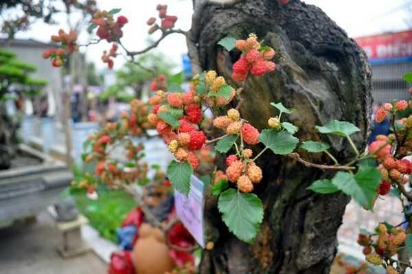 Những quả dâu chín đỏ mọng mọc ra từ thân cây xù xì nên rất có giá trị đối với người chơi cây cảnh.