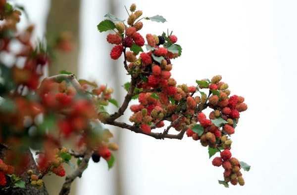 Quả sai trĩu ở những đầu cành. Mỗi nhánh cây nhỏ nhưng cũng có đến vài chục quả dâu cùng đậu trên đó.
