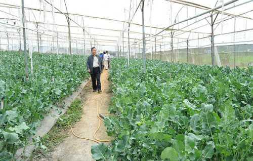 Vườn súp lơ xanh baby của hộ gia đình anh Phạm Văn Tộ ở xã Ninh Loan.