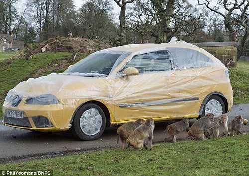 Tuy nhiên, ban quản lý công viên đã trang bị cho mỗi chiếc ô tô bọc nilon để tránh khỉ làm phiền