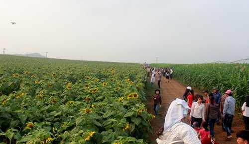 Con đường giữa cánh đồng hướng dương và cánh đồng ngô cho góc chụp thú vị