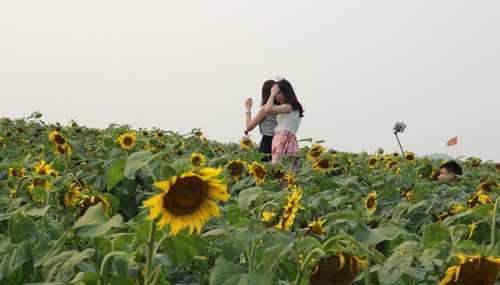 Để có được tấm ảnh đẹp giữa cánh đồng hoa, các thiếu nữ phải thuê thang đứng lên cao