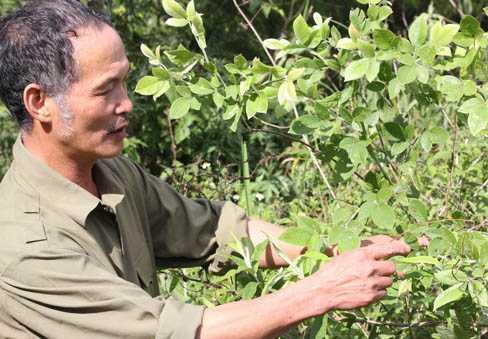Ông Lâm bên một cây thuốc quý trong trà Trường Sinh Thang ở Fansipan