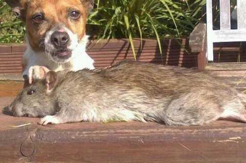 Con chuột có kích thước khoảng 45-50 cm