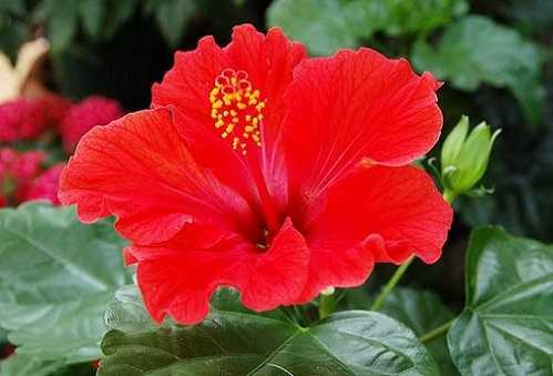 Hoa dâm bụt giúp ngăn ngừa và điều trị bệnh sỏi thận.