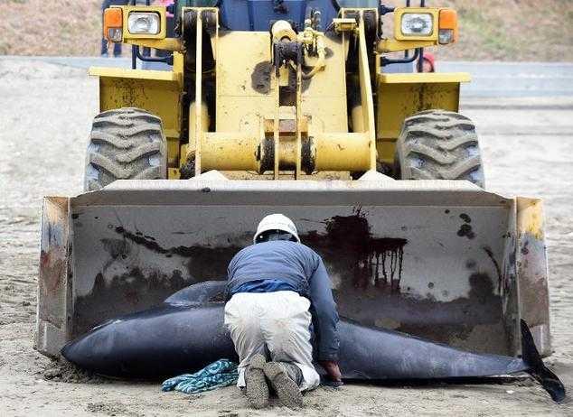 Cá heo được đưa trở lại biển