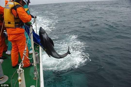 Tuy nhiên, không nhiều con cá heo còn sống sót và việc mắc cạn hàng loạt của chúng đang dấy lên sự lo ngại về việc động đất cực lớn sắp xảy ra tại Nhật Bản