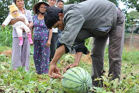 Dưa được kiểm tra ngay tại ruộng trước khi thu hoạch, vận chuyển ra Hà Nội