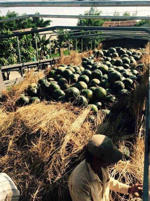 Người trồng dưa đáng dần thoát khỏi một vụ mùa trắng tay nhờ sự giúp đỡ của cộng đồng