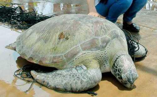 Rùa biển quý hiếm nặng 62 kg