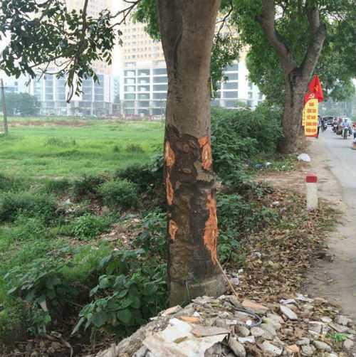 Xà cừ bị cạo vỏ trên phố Trung Văn