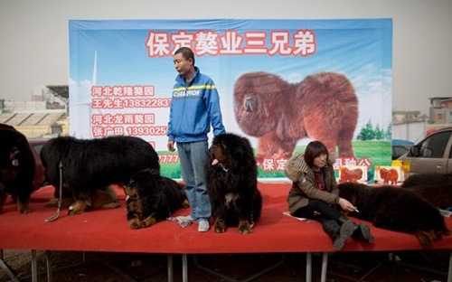 Chó ngao Tây Tạng - loài chó trước kia thường được nuôi ở vùng Tây Tạng để canh giữ gia súc và nổi tiếng bởi sự trung thành - có thể nặng tới 80 kg mỗi con.