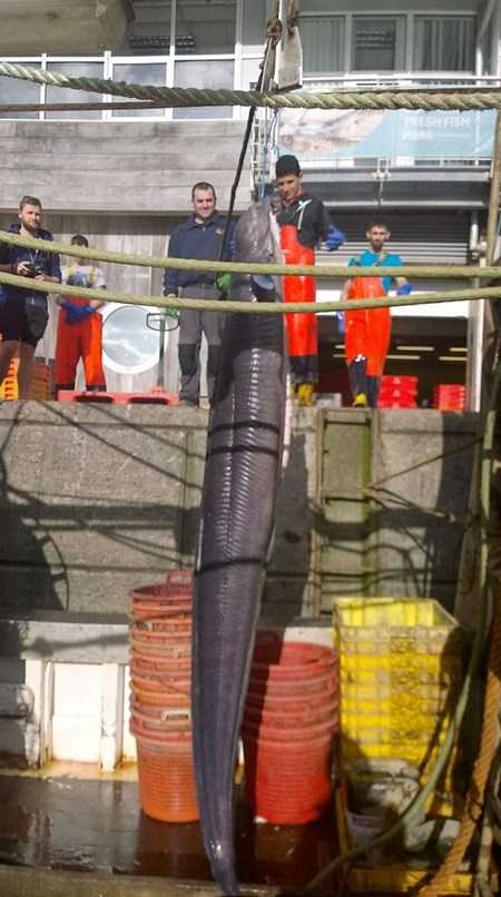 Hình ảnh con quái vật lươn khổng lồ sa lưới ngư dân Anh