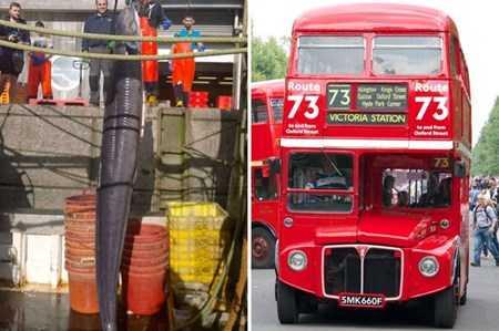 Hình ảnh so sánh chiều dài của con lươn hơn cả chiều cao của chiếc xe bus 2 tầng